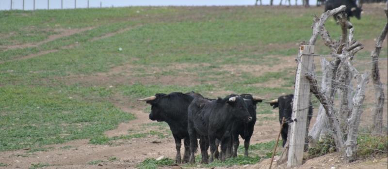 Convocadas las ayudas para la ganadería de bravo