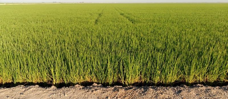 Autorización provisional para el control de malas hierbas en producción integrada de arroz