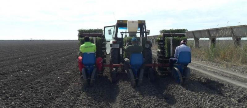 Finaliza la plantación del cultivo del tomate de industria