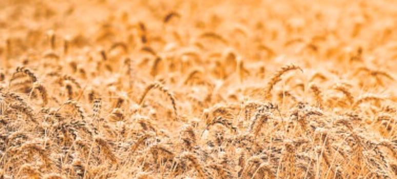 El precio de venta del trigo sube un 18% en 30 años y sus costes casi…