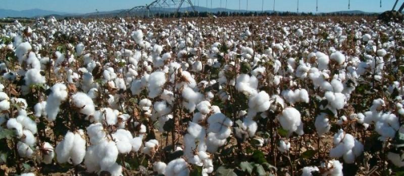 El importe definitivo del Pago específico al algodón será de 998,12 €/ha para la campaña 2020
