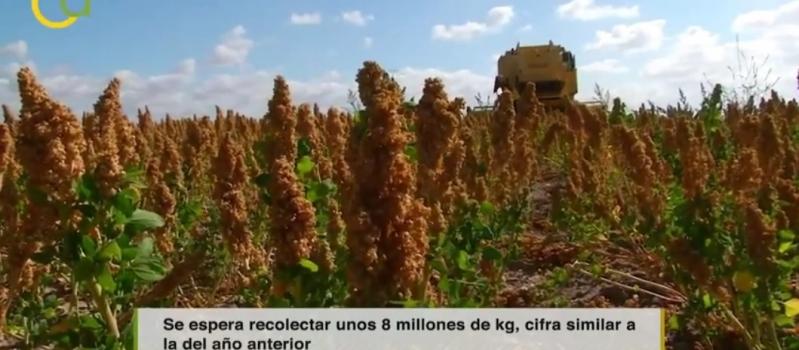 Buenas expectativas para la campaña de quinoa, el cultivo llegado desde Los Andes que ha conquistado…