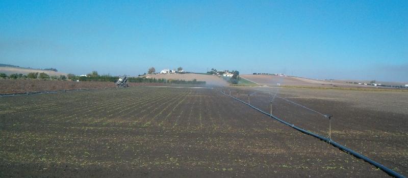 Casi la mitad de toda la remolacha sembrada en Andalucía es de secano