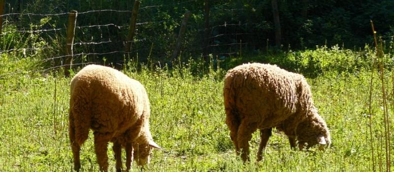 Permitido el pastoreo en superficie de barbecho de interés ecológico para el Pago Verde de la…
