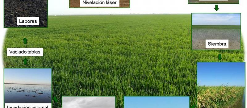 Comienza el vaciado de las tablas de arroz en Andalucía