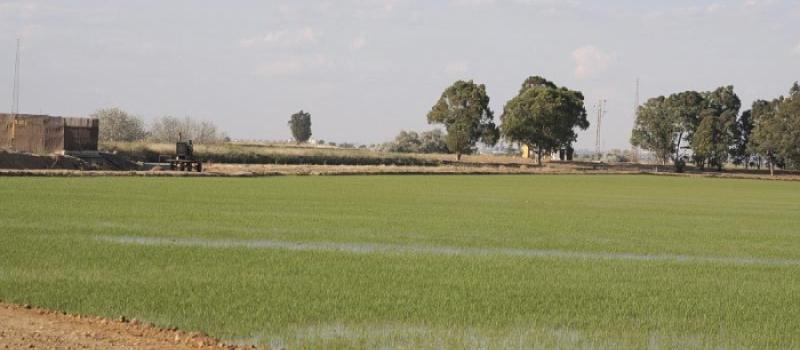 Situación fitosanitaria del cultivo de arroz: la campaña transcurre con normalidad