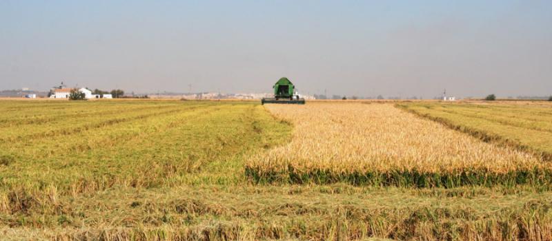 Sevilla ya ha recolectado el 80% de la superficie de arroz