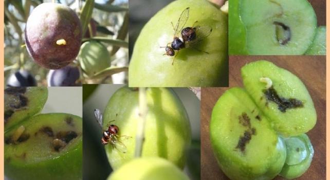 Situación fitosanitaria de la mosca del olivo