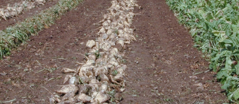 El importe definitivo de la ayuda a la remolacha azucarera en la zona sur asciende a…