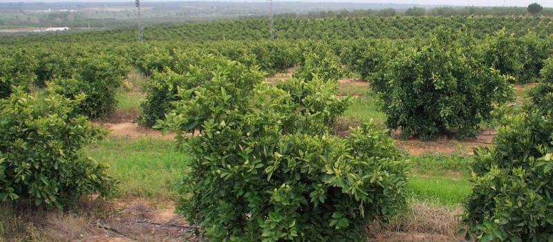 Evolución fitosanitaria del cultivo de cítricos durante el mes de marzo