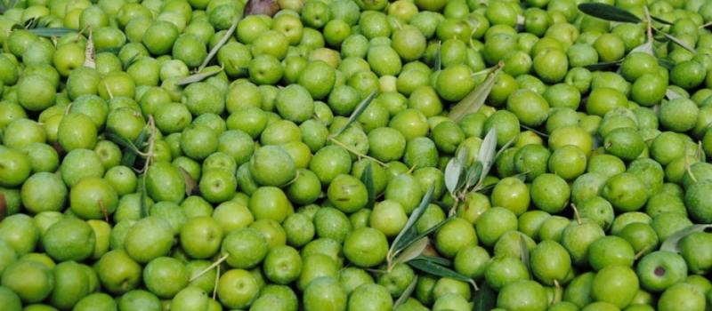 La sequía y la vecería del olivar merman la cosecha de aceituna de mesa, la más…