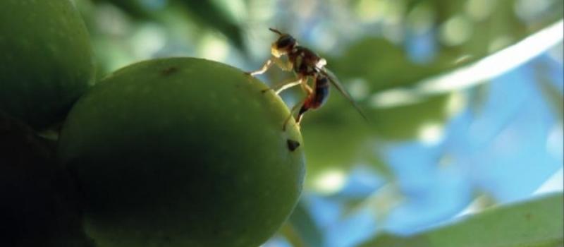 Baja incidencia de la mosca del olivo en Andalucía a principios de agosto