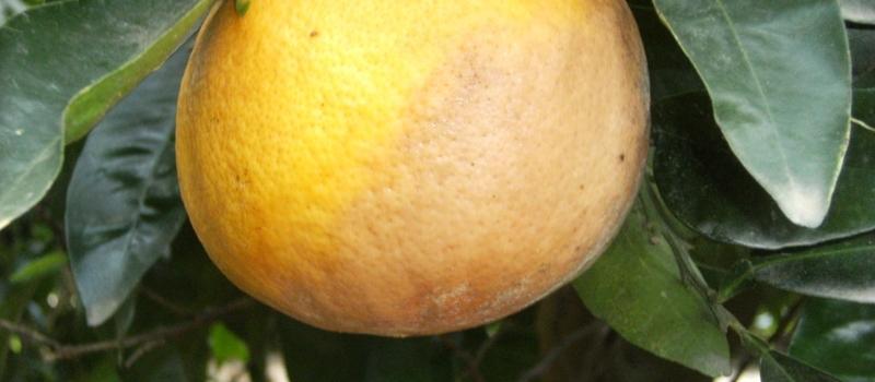 Situación actual del cultivo de los cítricos en Andalucía