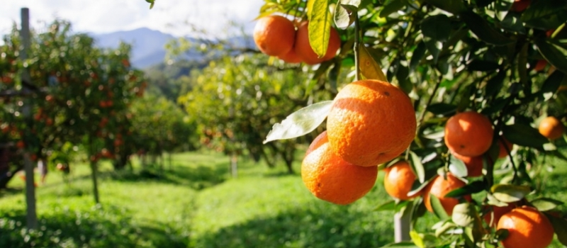 Controles más rigurosos para que la mancha negra de los cítricos no llegue a Andalucía