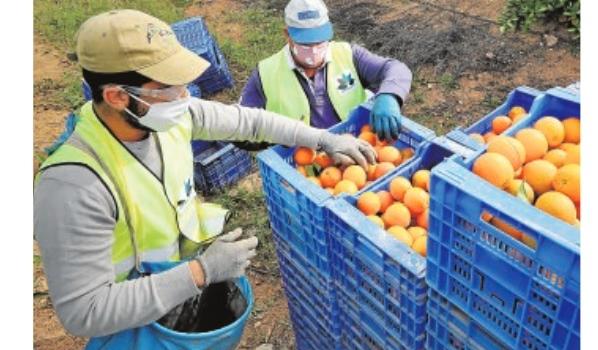 La campaña de cítricos avanza a ritmo lento pero con buenos precios en árbol
