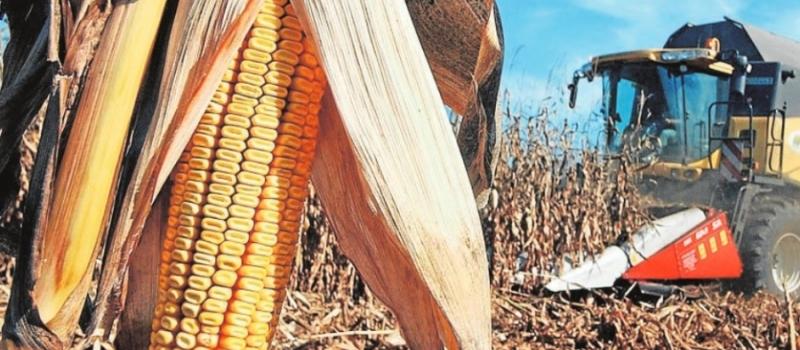 El precio del maíz toca suelo al inicio de la campaña de recolección