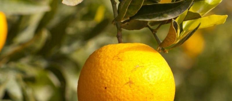 Inicio de la Campaña del Plan Andaluz de Vigilancia Fitosanitaria en Cítricos