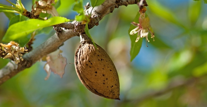 Situación fitosanitaria del cultivo de almendro