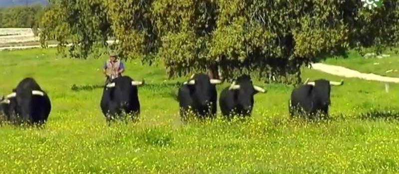 La pandemia cornea sin piedad al mundo del toro bravo, con unas pérdidas de 31 millones…