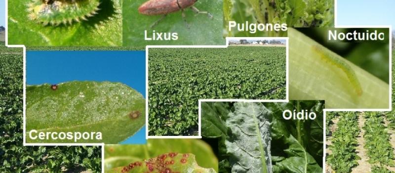 Situación actual del cultivo de remolacha azucarera en Andalucía