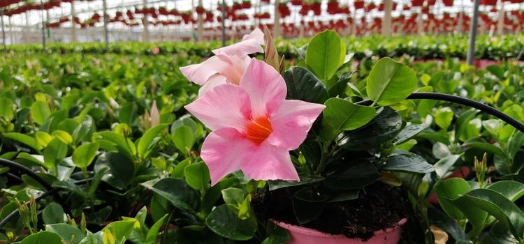 Abierto el plazo para solicitar las ayudas por la destrucción de flores y plantas ornamentales a…